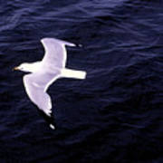 Sea Gull Over Water Dbwc Poster