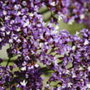 Sea Lavender Poster