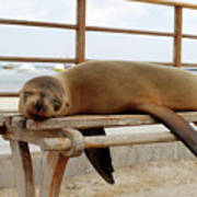 sea lion on a bench in Puerto Ayora, Santa Cruz Island, Galapagos Poster