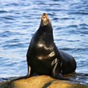 Sea Lion Sing Poster