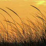 Sea Oats At Dusk Poster