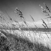 Sea Oats In Black And White Poster