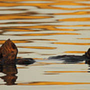 Sea Otter Laying Low In The Water Poster