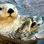 Sea Otter Portrait Poster