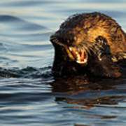 Sea Otter With A Toothache Poster