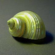 Sea Shell Turbo Marmoratus Poster