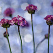 Sea Thrift Blossoms Poster by Rod Sterling