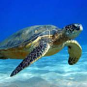 Sea Turtle Blue Poster