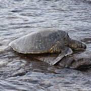 Sea Turtle On Rock Poster