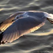 Seagull Flight Poster by Dustin K Ryan