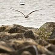 Seagull Flying Into Ocean Jetty Poster