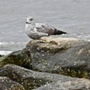 Seagull Sitting On Jetty Poster