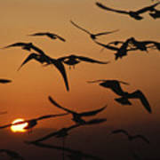 Seagulls In Sunset Poster