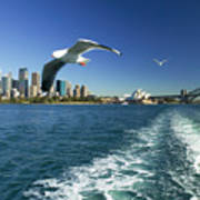 Seagulls Over Sydney Harbor Poster