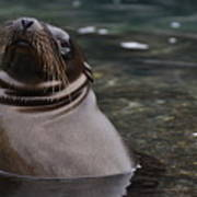Seal In The Water Poster