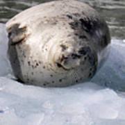 Seal On Iceberg Poster