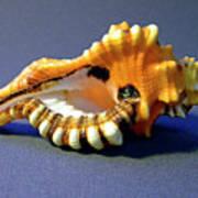 Seashell Cymatium Lotoium Poster