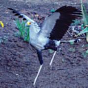 Secretary Bird Running Poster