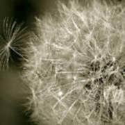 Seedy Dandelion Poster