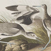 Semipalmated Snipe Or Willet Poster