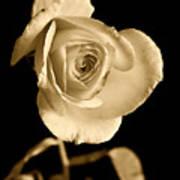 Sepia Antique Rose Poster by M K  Miller