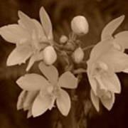 Sepia Flower Poster