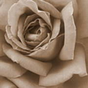 Sepia Rose Abstract Poster