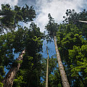 Sequoia Park Redwoods Reaching To The Sky Poster