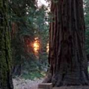 Sequoia Sunset Poster