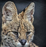 Serval Portrait Poster