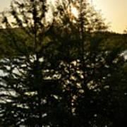 Setting Sun Through A Cypress Tree Poster