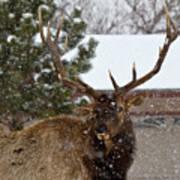 Seven Point Bull Elk Poster
