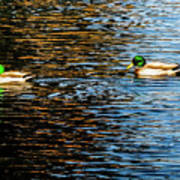 Shade And Sunlight - Mallard Ducks Poster