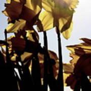Shadowed Daffodils Poster