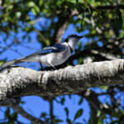Shadowy Blue Jay Poster