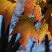 Shadowy Sugar Maple Leaves In Autumn Poster