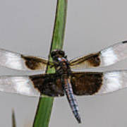 Sharp Focus Dragonfly Poster