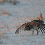Sharptail Grouse On Snow Poster