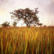 Shea Tree In Field, Near Lira, Uganda Poster