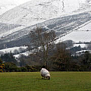 Sheep Grazing Atthe Galtees  Ireland's Tallest Inland Mountains Poster
