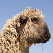 Sheep In Profile Poster