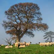 Sheep In Somerset Poster