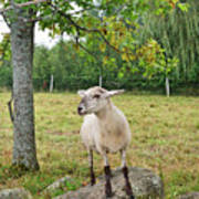 Happy Sheep Posing For Her Photo Poster
