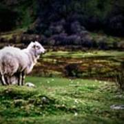 Sheep View Poster