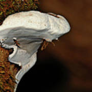 Shelf Fungus On Bark - Quinault Temperate Rain Forest - Olympic Peninsula Wa Poster