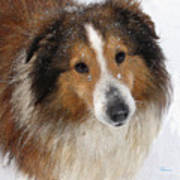 Sheltie In The Snow Poster