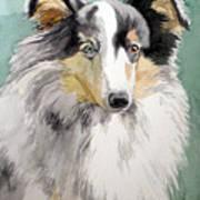 Shetland Sheep Dog Poster