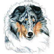 Shetland Sheepdog, Sheltie, Blue Merle Poster