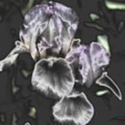 Shiny Irises Poster