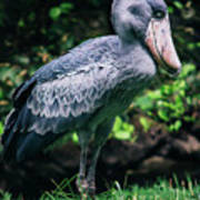 Shoebill Stork Side Portrait Poster